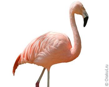 сонник фламинго розовый
