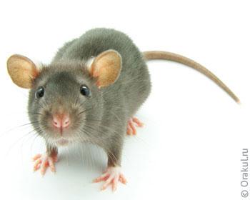 Крыса и крысята по соннику