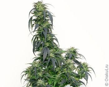 Во сне марихуану собрать семена с конопли