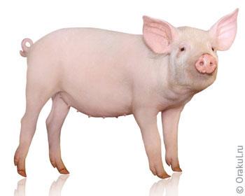 Свинья хочет укусить по соннику