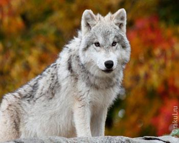 Сонник Волчица к чему 😴 снится, приснилась Волчица во сне?